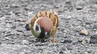 20210128 一球一球的麻雀們,正在覓食中/Sparrows Eating【台北市大安區】