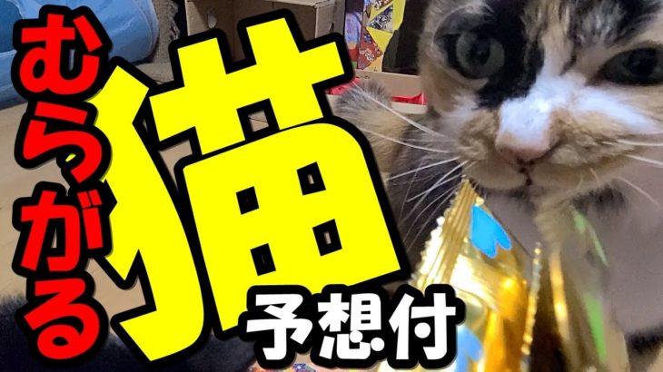 【宝くじ予想付】とびきりオヤツにむらがる3匹の猫ゆずりんTV